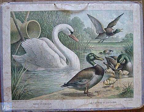 Eend en zwaan